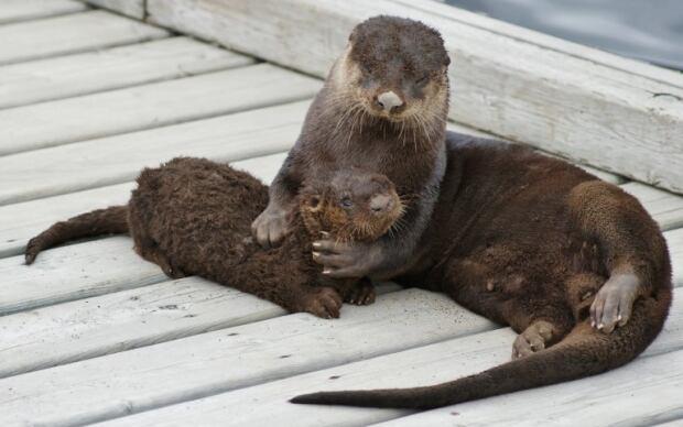 Quidi Vidi sea otter by Bill Perks