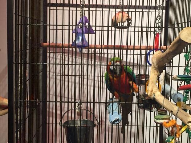 Merlin the parrot