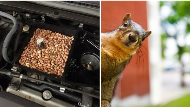 My Car North Bay >> Squirrel blamed for car engine stuffed with nuts | CBC Radio