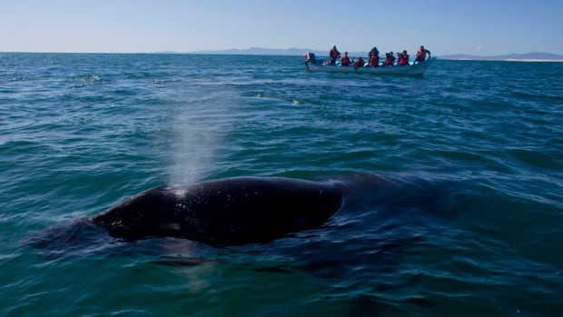 Lost Pacific grey whale swimming off the coast of Spain not likely to survive, says expert
