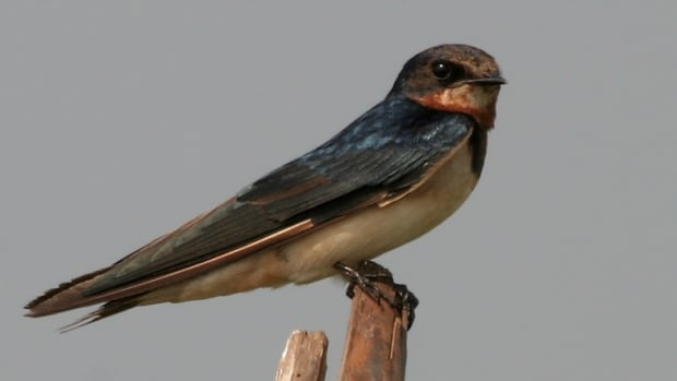 Protected barn swallow habitat felled by chainsaw near ...