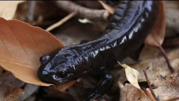 The endangered Jefferson salamander can be found in the Doon South area of Kitchener.