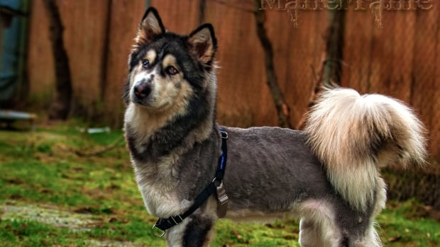 Willow, an emaciated husky found wandering in Maple Ridge, has now been adopted by a family in Langley, B.C.