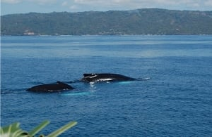 Humpback whales in Samana Bay in the Dominican Republic