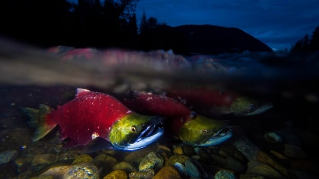 Spawning sockeye salmon are seen making their way up the Adams River in Roderick Haig-Brown Provincial Park near Chase, B.C. in 2014. Scientist Dick Beamish worries salmon could feel the impact of a warm blob of water travelling south down the Pacific Coast.