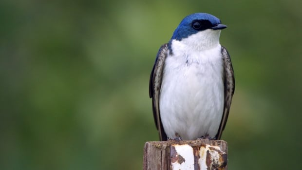 The Tree Swallow is one of the songbirds currently declining in the Prairies.