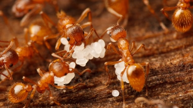 """On a warm day it's going to look like an ant volcano exploded out of the ground,"" says invasive species expert on European Fire Ants."