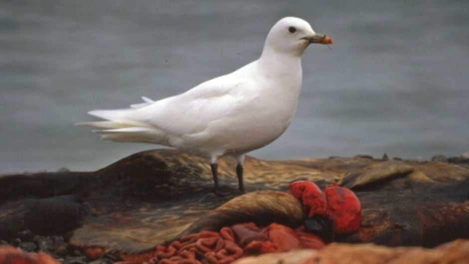 Ivory gull near Resolute Bay, Nunavut