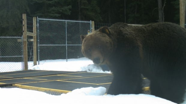 Bear 122, known as 'The Boss,' was captured on camera near Castle Junction.
