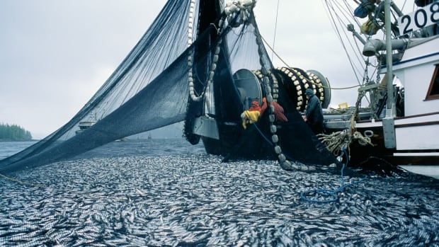 A fishing boat pulls in a net full of herring on the Central Coast of B.C.