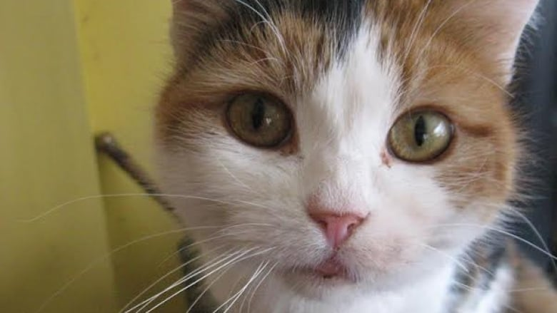 Calico Cat With Interesting Gps >> Cleo The Calico Cat Missing For 6 Years To Rejoin Edmonton Owner