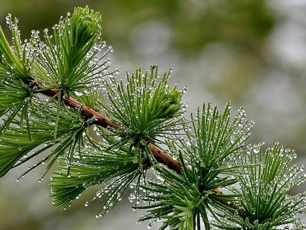Pine needles covered in dew