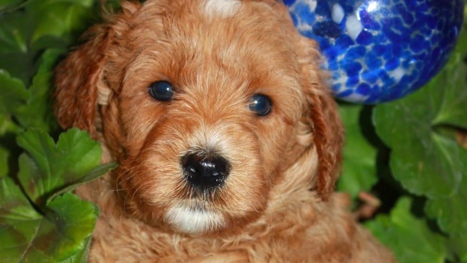 Labradoodle Marketing Fetches 2500 Puppy Price Cbc News