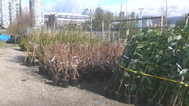 Trees at the Treekeepers' depot near False Creek wait to be planted.