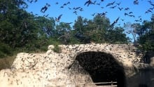 emerging bats