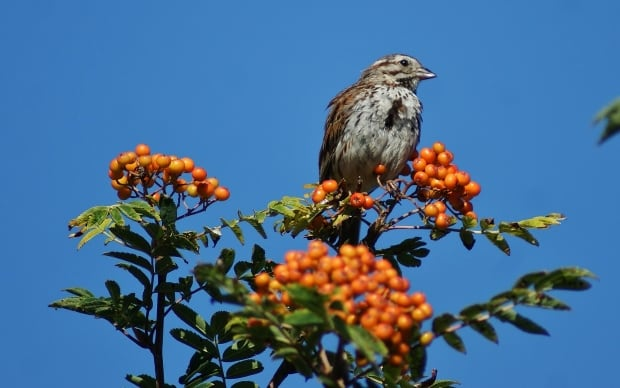 Song Sparrow by Bill Perks