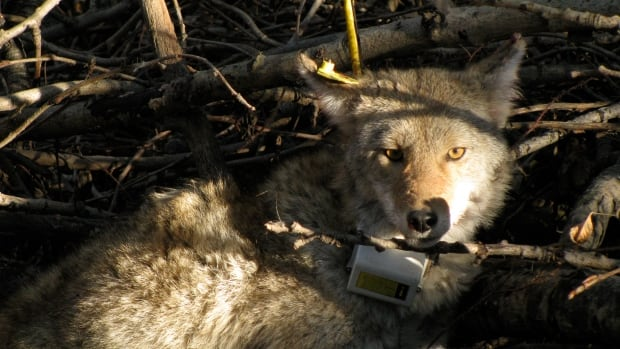 Coyotes in the study were tracked with GPS collars that transmitted the animals' location every three hours for an average of four months.
