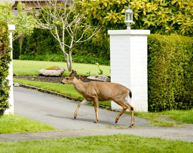 Oak Bay Deer