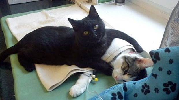 """Brought into a Polish animal shelter as a sick kitten, Rademenes now serves as the shelter's unnoficial """"cat nurse."""""""