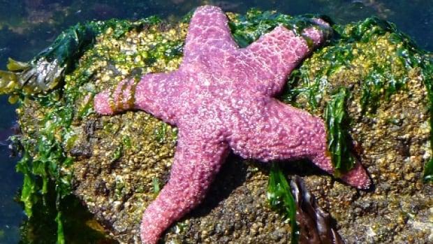 Starfish populations along B.C. coast are declining dramatically.