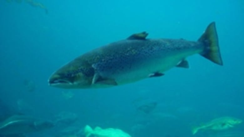 478836fae08e Efforts to save Atlantic salmon boosted by  4.7M in government funding