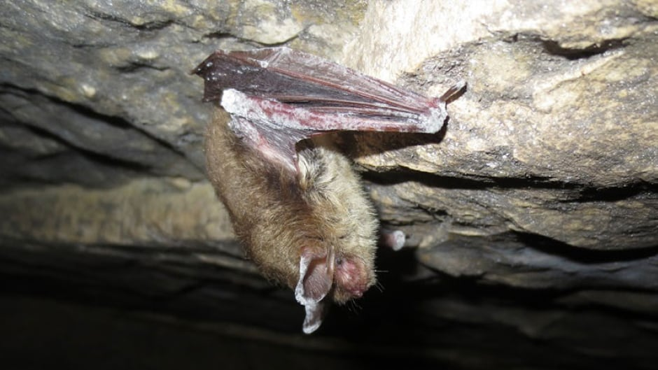 Bat infected with white fungus