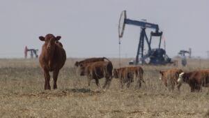 cows and pump jacks in southeast saskatchewan