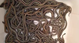 Rescued Snakes