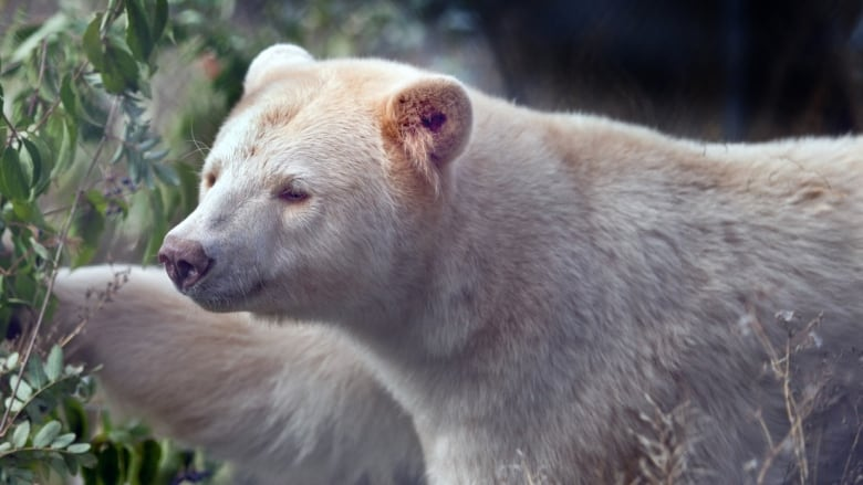 Clover The Kermode Bear Will Be Unveiled To Public This Weekend At BC Wildlife Park In Kamloops