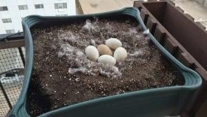 Lucy Goose Eggs
