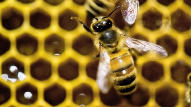 The Beenomics project is aimed at developing tools that would allow beekeepers to read the genetic code of individual bee colonies and find out how they compare for certain traits.
