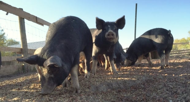 Kobe pigs