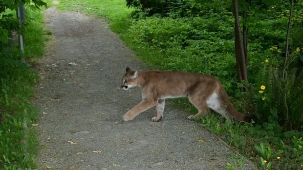 The last records of eastern cougars are believed to be in Maine in 1938 and in New Brunswick in 1932. The U.S. Fish and Wildlife Service now says cougars in eastern parts of Canada and the U.S. have been extinct for 70 years.