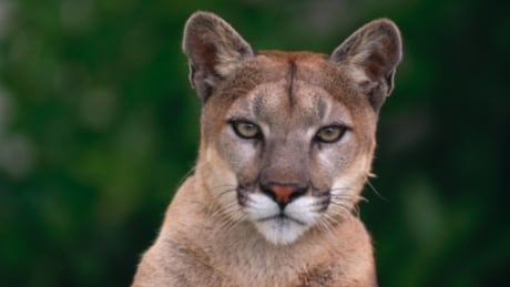 Victoria police put out alert after cougar sighting in residential neighbourhood
