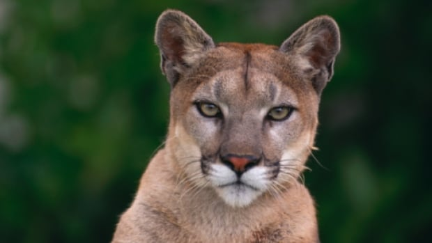 A Vancouver-area man used a rock to battle a cougar during a recent wild animal attack on a remote logging road on Vancouver Island.