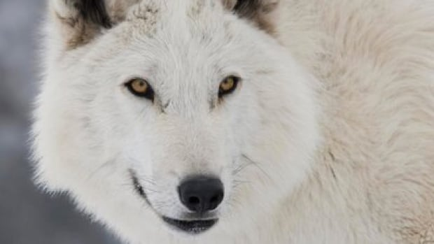 Eight-year-old Arctic wolf Quigly will have a big scene coming up in the May 24 episode of Games of Thrones, says his trainer Andrew Simpson.