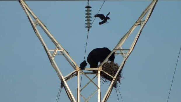 A group of bison hunters visiting Wood Buffalo National Park watched a bear climb a power transmission tower and raid a ravens' nest on May 10.