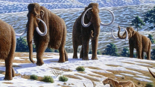 An artist's rendition of woolly mammoths, which haven't roamed the earth for 4,000 years. Science is getting closer to bringing the animal back.