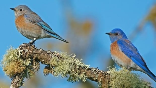 Western bluebirds, considered locally extinct 20 years ago, are thriving again on Vancouver Island.