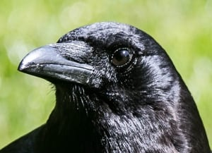 Crow face