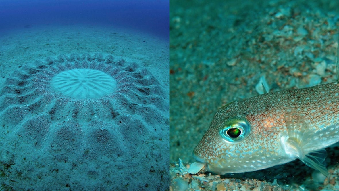 Top 10 new species of 2015 include artistic fish fanged for Puffer fish sand art