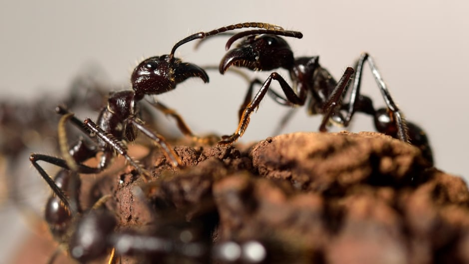 Giant ants (Paraponera Clavata). (Photo credit: ERIC FEFERBERG)