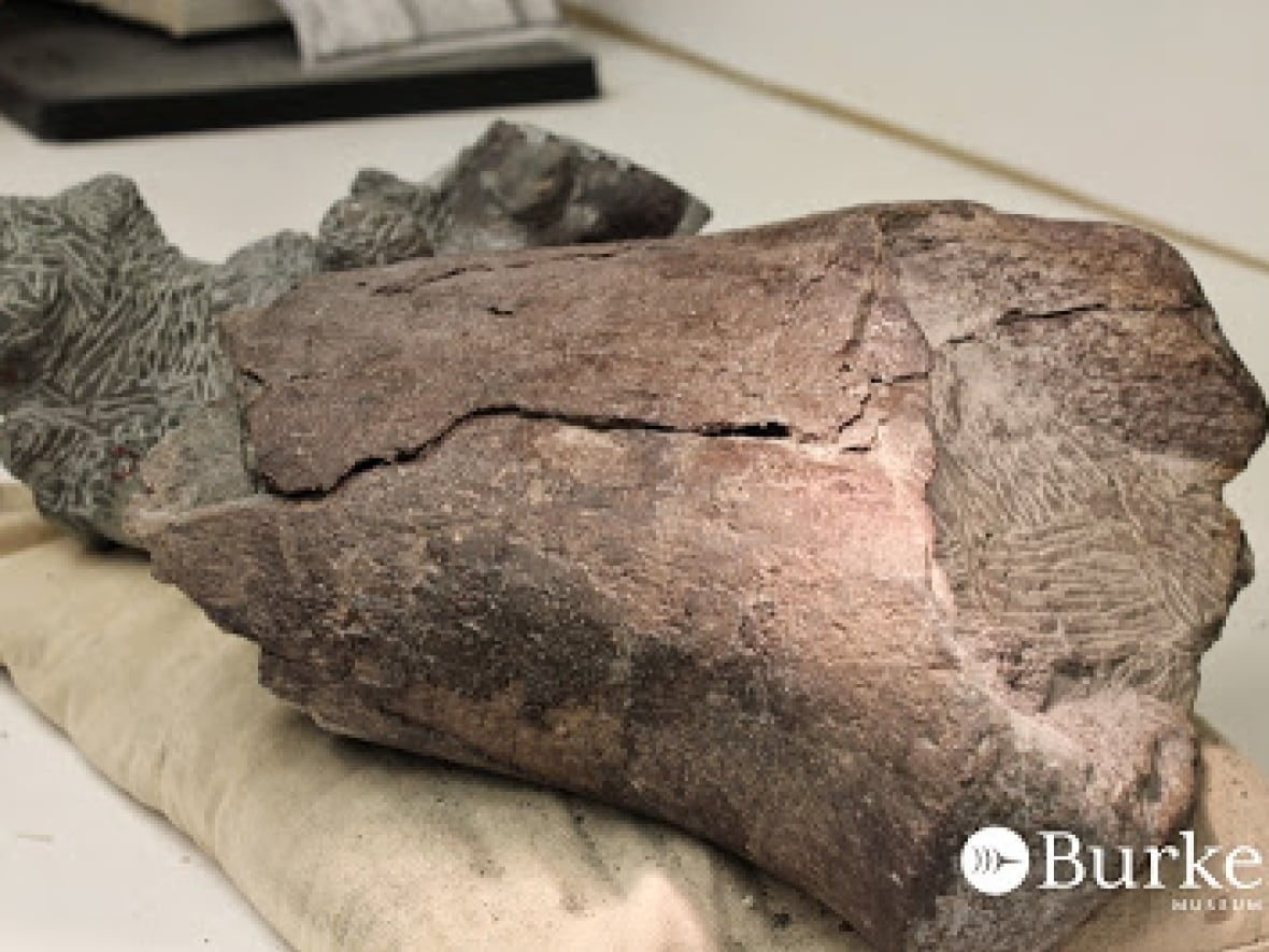 Washington State S First Dinosaur Fossil Found By Burke Museum