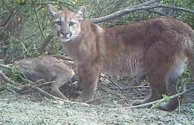 Mountain lion feeding