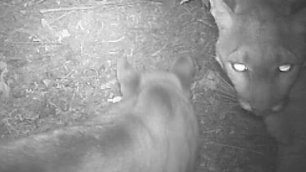 Infrared footage shows mountain lion 19-F and her cub 49-M feeding. Research has shown that because their kills are so close to people and cars, females aren't finishing their meals.
