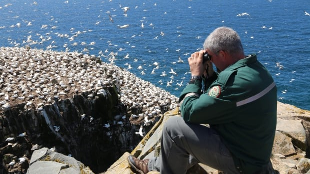 Chris Mooney, a park interpretation technician at the Cape St. Mary's Ecological Reserve, looks at northern gannets.