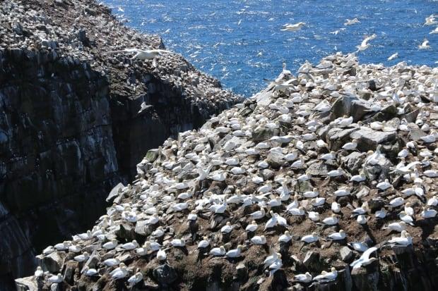 Cape St. Mary's seabird reserve 20150525