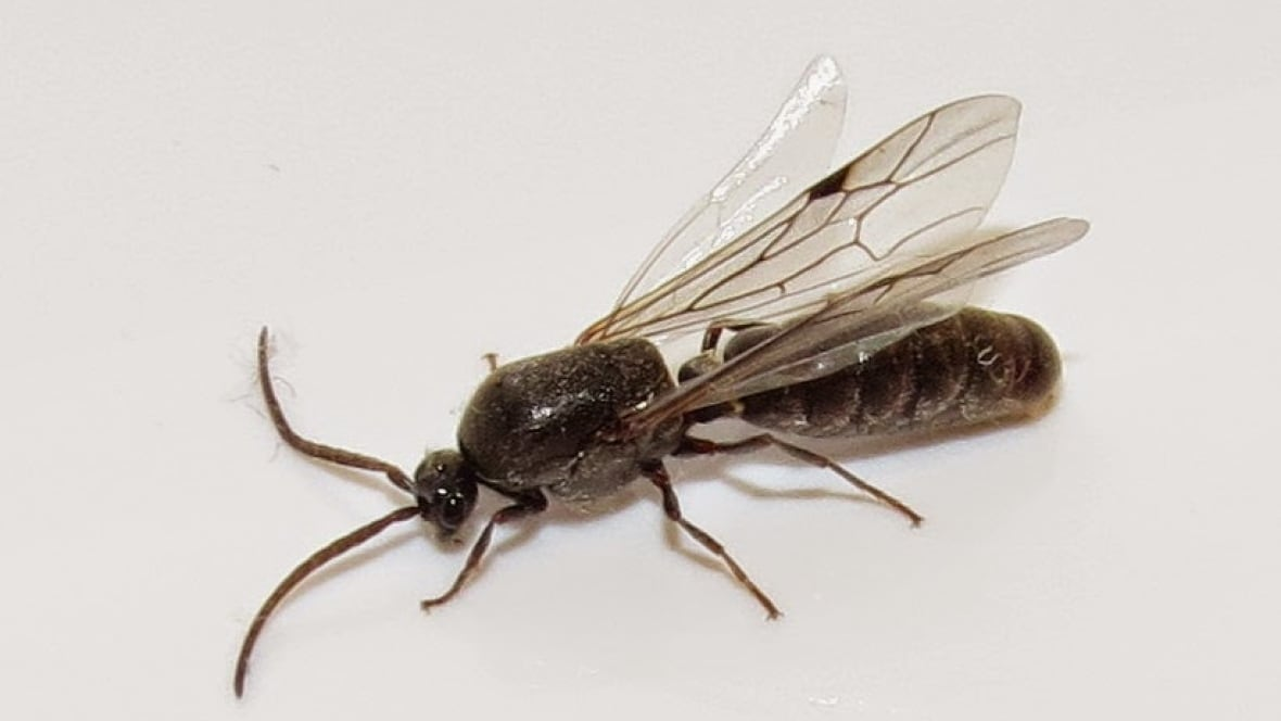 Flying Ants Eat Wings As Part Of Mating Ritual