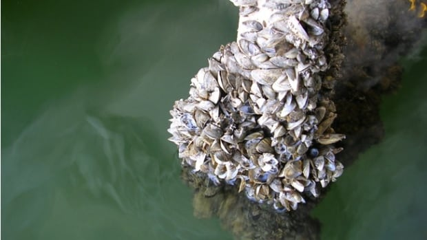 Zebra mussels cover a boat propeller. The invasive species can colonize any hard surface which can lead to clogging of water infrastructure.