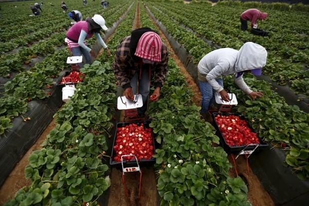 MEXICO-Strawberry FARMS April 1 2015 Baja Calif berry rows